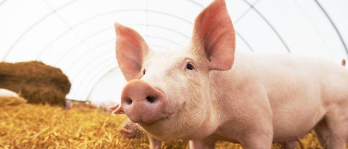 Wat kan het varken ons leren over de mens?